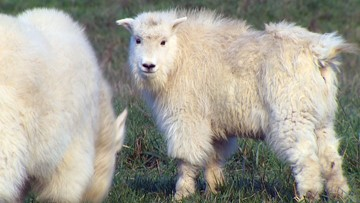 Young mountain goats start new lives at Washington wildlife park
