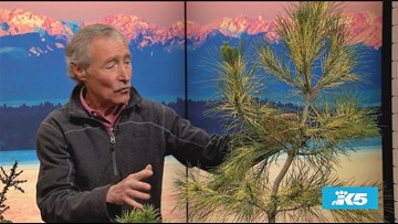 How to take care of Conifers: Gardening with Ciscoe