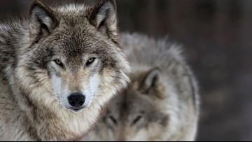 Washington wolf population likely larger than estimates, researcher says