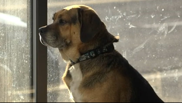 Stray beagle in Washington goes home to Las Vegas after 3 years