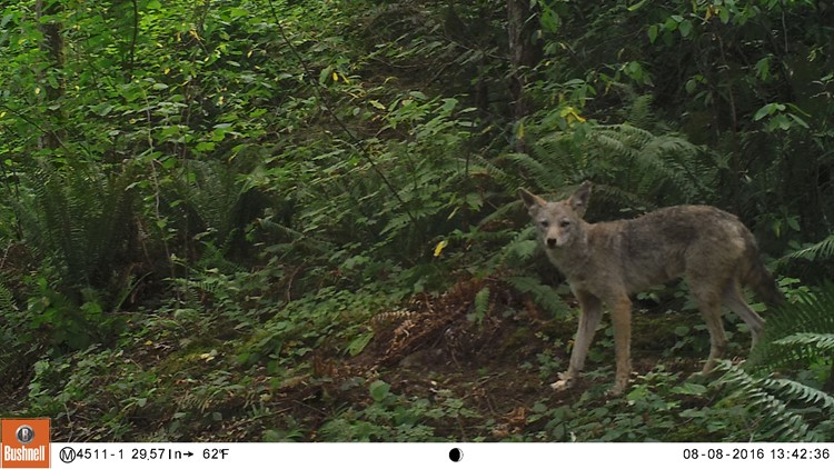 KING_coyote_wildlife_cam2_1543442466283.jpg