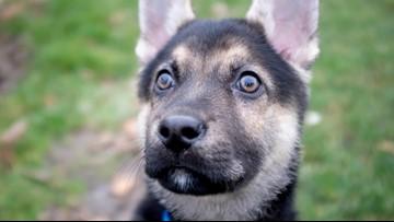 Beloved Washington puppy Logan dies after heart surgery