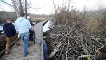 Busy beavers create salmon habitat in Kitsap