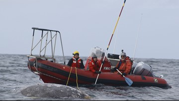 Whale entanglements improve on West Coast as situation worsens world wide