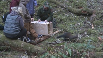 Fishers released in North Cascades for first time