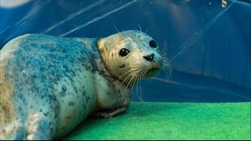 Near-death seal rehabbed, released near Everett