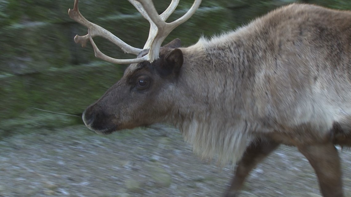 Issaquah Reindeer Festival brings the North Pole to Cougar Mountain Zoo