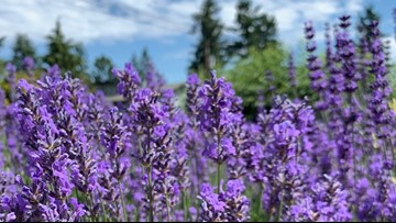 Pride of the PNW: Sequim is the lavender capital of the world