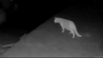 Another possible cougar sighting on Mercer Island