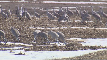 Othello plays host to thousands of bird species at the Sandhill Crane Festival
