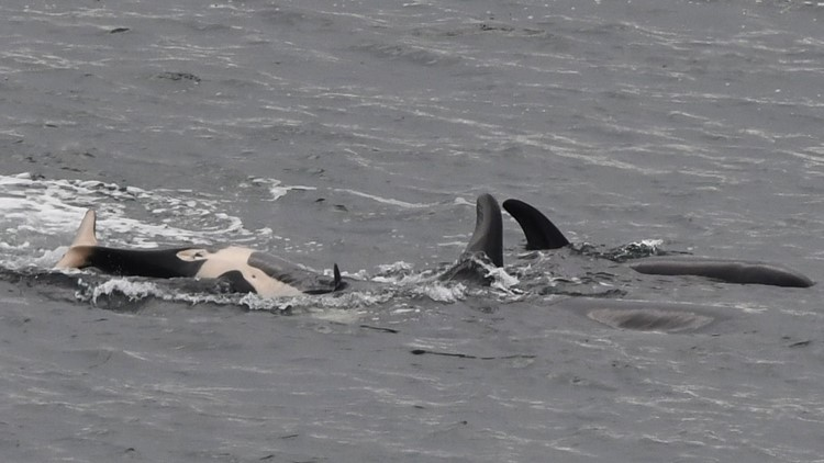 It's a girl! J58, Southern Resident orca calf born last year, is female