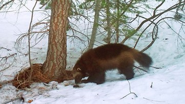 Judge asked to force decision on US wolverine protections
