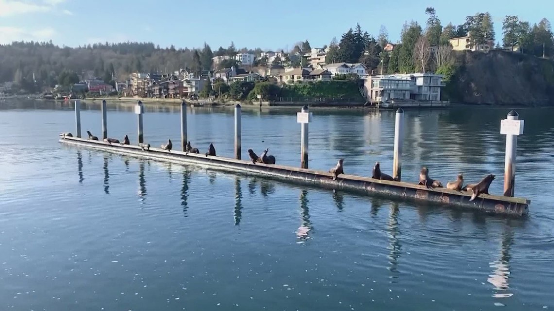 Sea lions draw crowd to Seattle's Ballard waterfront