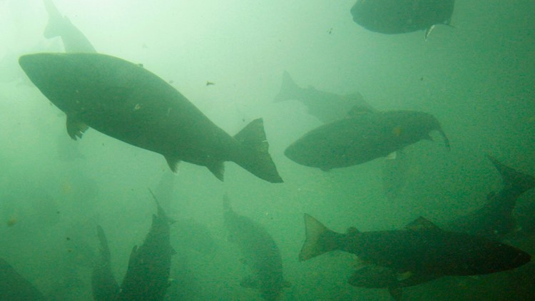 $26 million granted to Washington salmon recovery projects