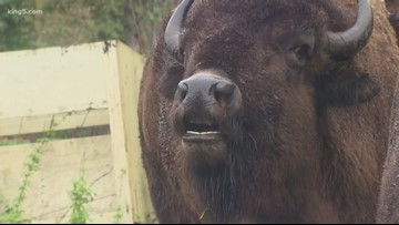 Bison rescued from cruel conditions in Washington seeking new home