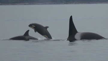 WATCH: Baby orca and pod splashing around Salish Sea