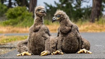 Neighbors keep watch over eaglets that fell from their nest in Sequim