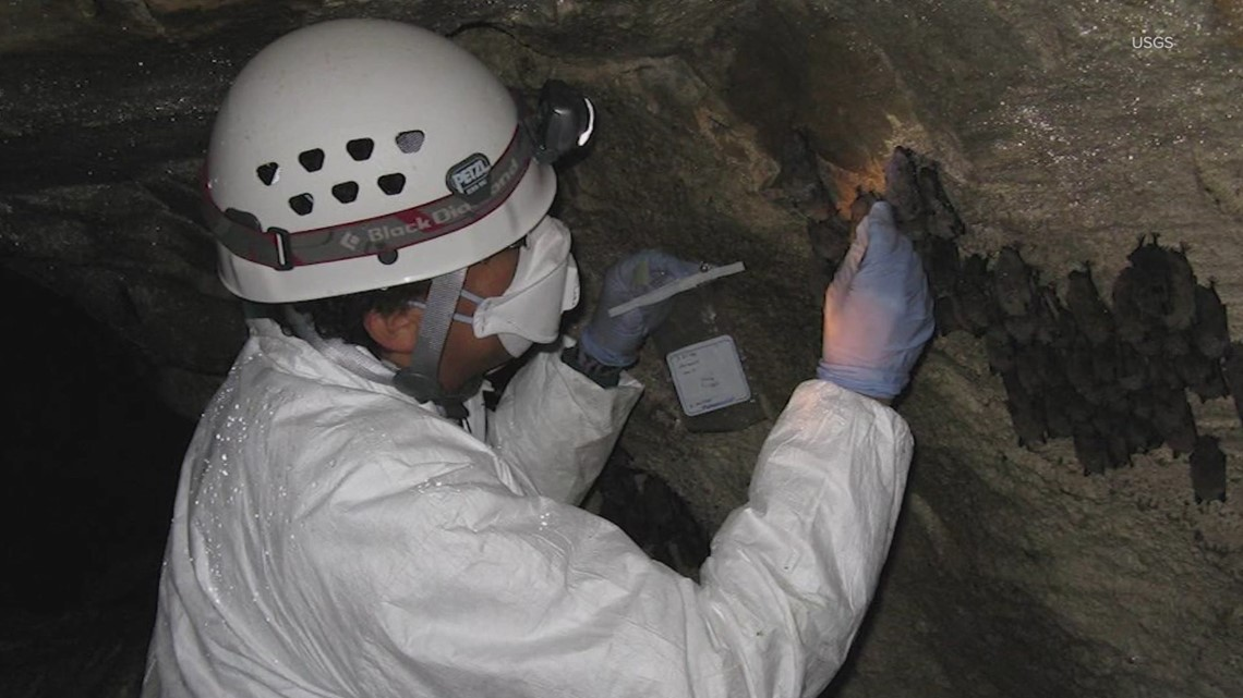 Washington researchers resume fieldwork after study shows low COVID-19 risk to bats