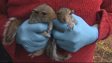 This Maple Valley lawyer fosters baby squirrels - KING 5 Evening