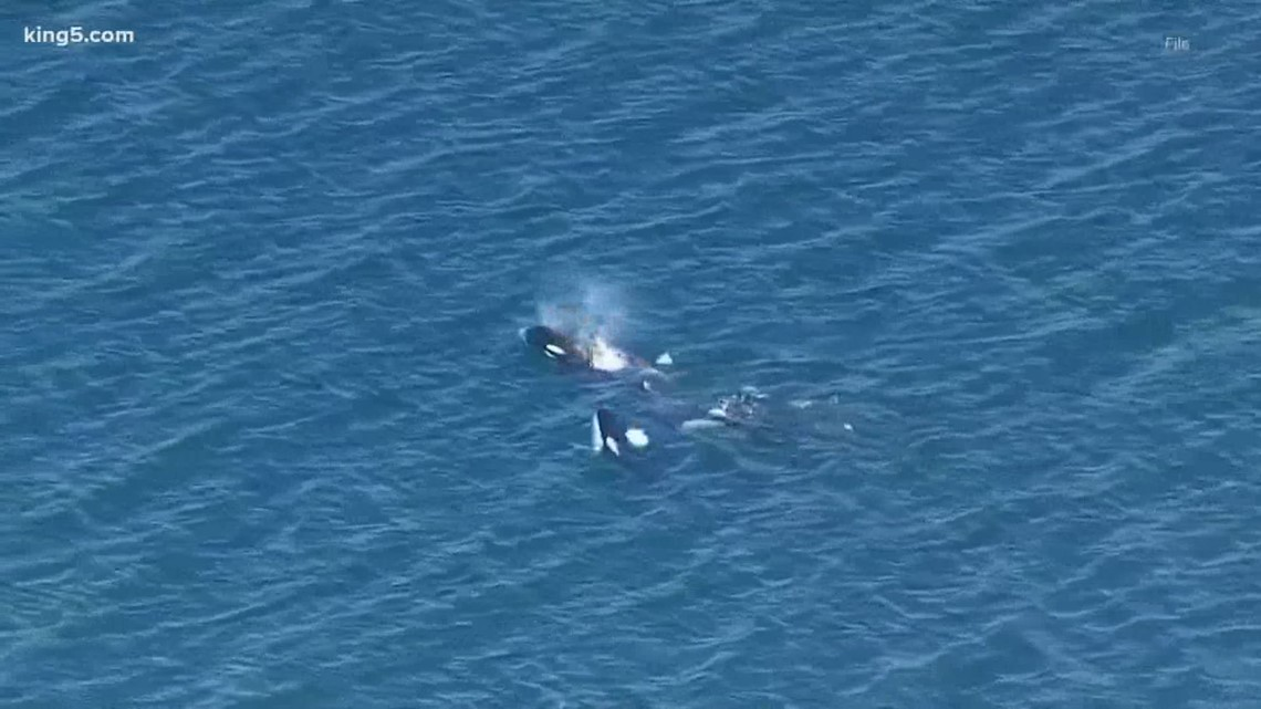 Several southern resident orcas are pregnant