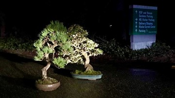 Stolen bonsai trees 'mysteriously' returned to Federal Way museum