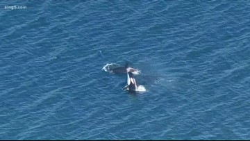 Grandmother whales improve orca survival, study finds