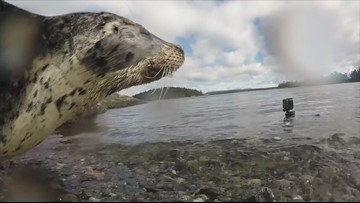 WATCH: Harbor seal released into Puget Sound