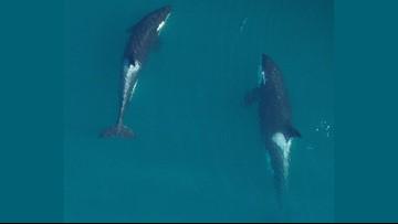 Grandmother orcas help calves survive, study finds