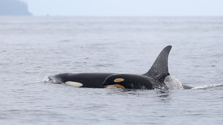 Both Southern Resident orca babies spotted alive