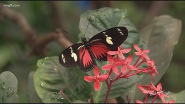 Escape to the tropics inside Pacific Science Center's Butterfly House - KING 5 Evening