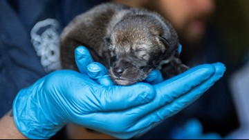 Help name Point Defiance Zoo's new red wolf pups