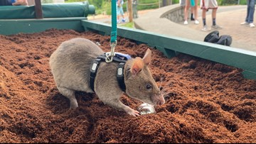 Landmine-detecting rats find new home at Point Defiance Zoo
