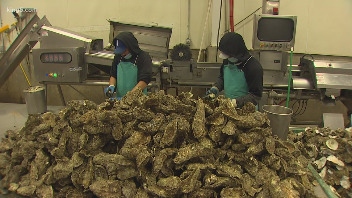 Ocean acidification: The threat to Washington shellfish, and how growers are adapting
