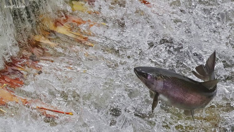 Skagit County: Seattle City Light 'getting away with' investing little in salmon recovery