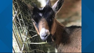 Rescued goat gets donated wheelchair after being found hurt in Seattle
