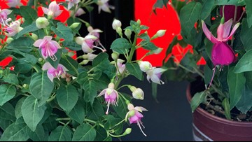 Fuchsias aren't just for hanging baskets - Gardening with Ciscoe