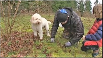 Truffles grown in the PNW at this first-of-its-kind farm - KING 5 Evening