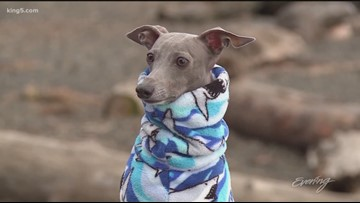 Asher the Italian Greyhound is a tail wagging hit on Facebook - KING 5 Evening