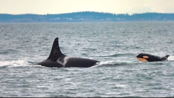 New boating laws aim to protect Southern Resident orcas