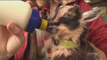 Ring in the Spring, It's baby goat season! - KING 5 Evening