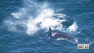 Saving the Orcas special presentation preview