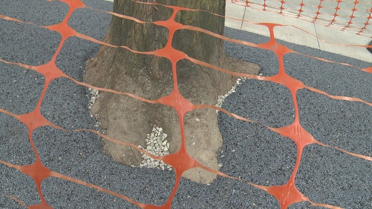 A tree after the flexible porous pavement is installed.