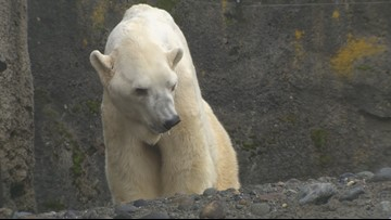 World's oldest male polar bear living quietly in the South Sound - KING 5 Evening