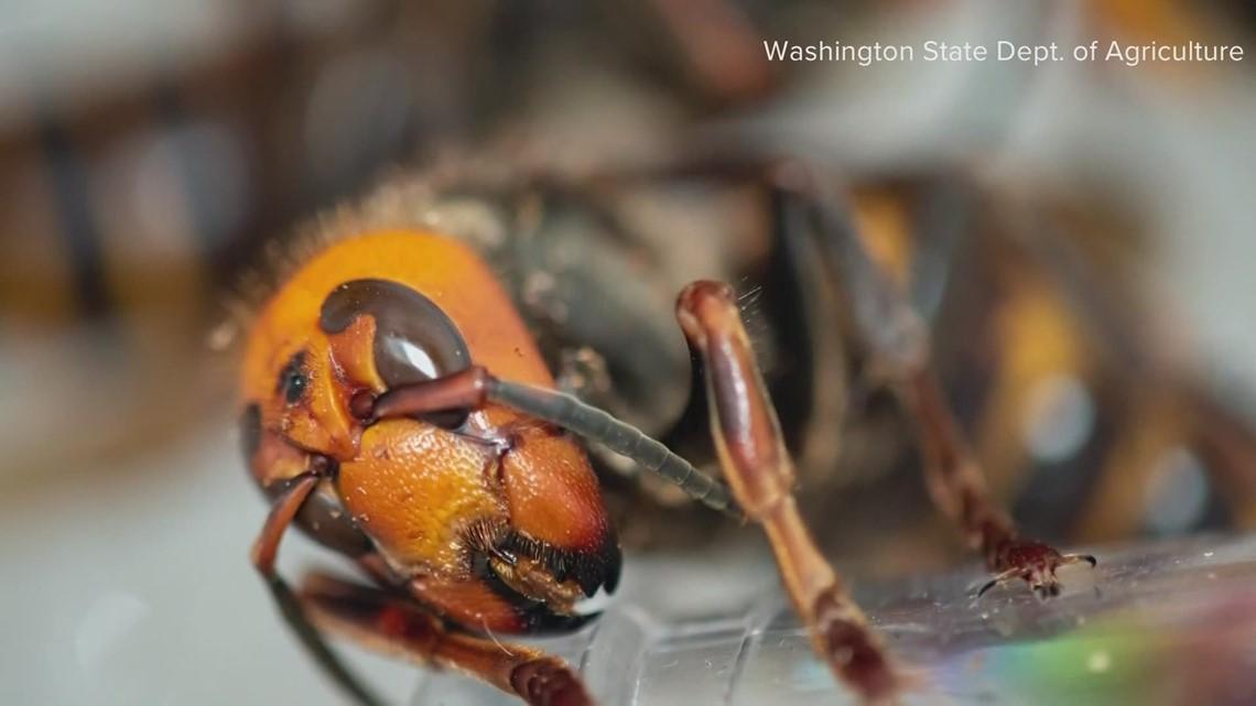 Washington considers new rules to help eradicate invasive Asian giant hornets