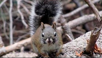Survey finds gain in endangered red squirrel population