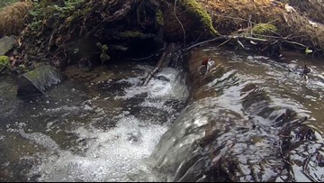 Creek turned 'dumping ground' restored for salmon in West Seattle