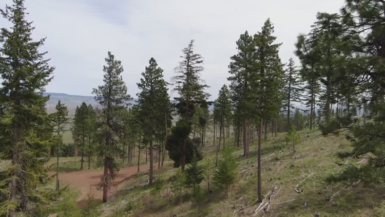How Washington is helping diseased forests get healthier
