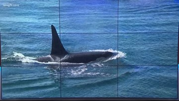 3 more Southern Resident orcas declared dead by Center for Whale Research