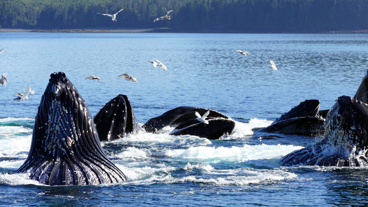 UnCruise Whale Watching