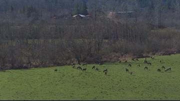 """DRONE: """"Dexter"""" spots herd of elk near Mount Si"""